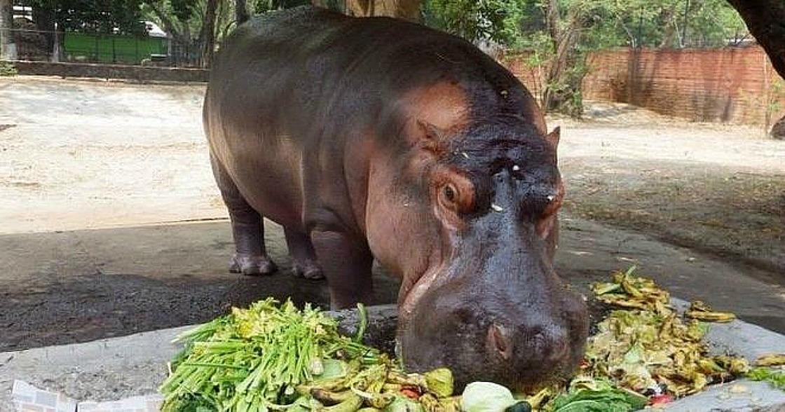 La trágica muerte de Gustavito, el único hipopótamo de El Salvador