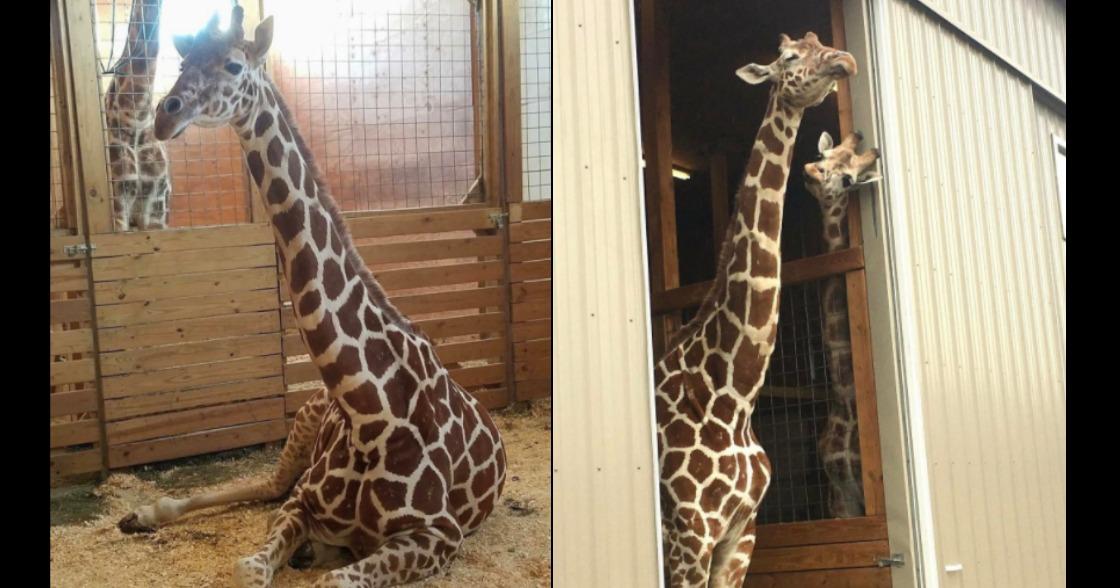 April, la jirafa que está a punto de parir, ¡tiene a todos en ascuas!